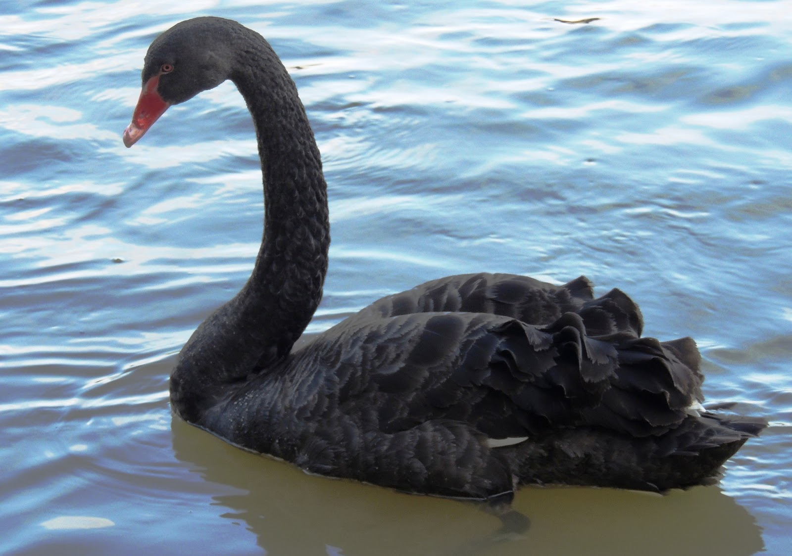 The Best Stamps The Majestic Black Swan