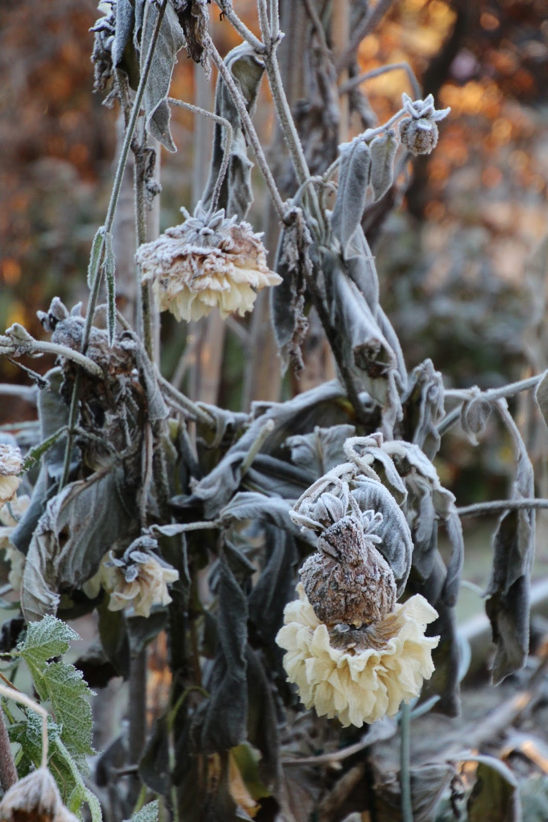 odla dahlior vinterförvaring