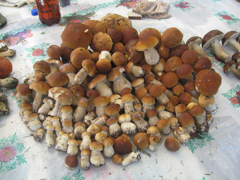 куча белых грибов фото