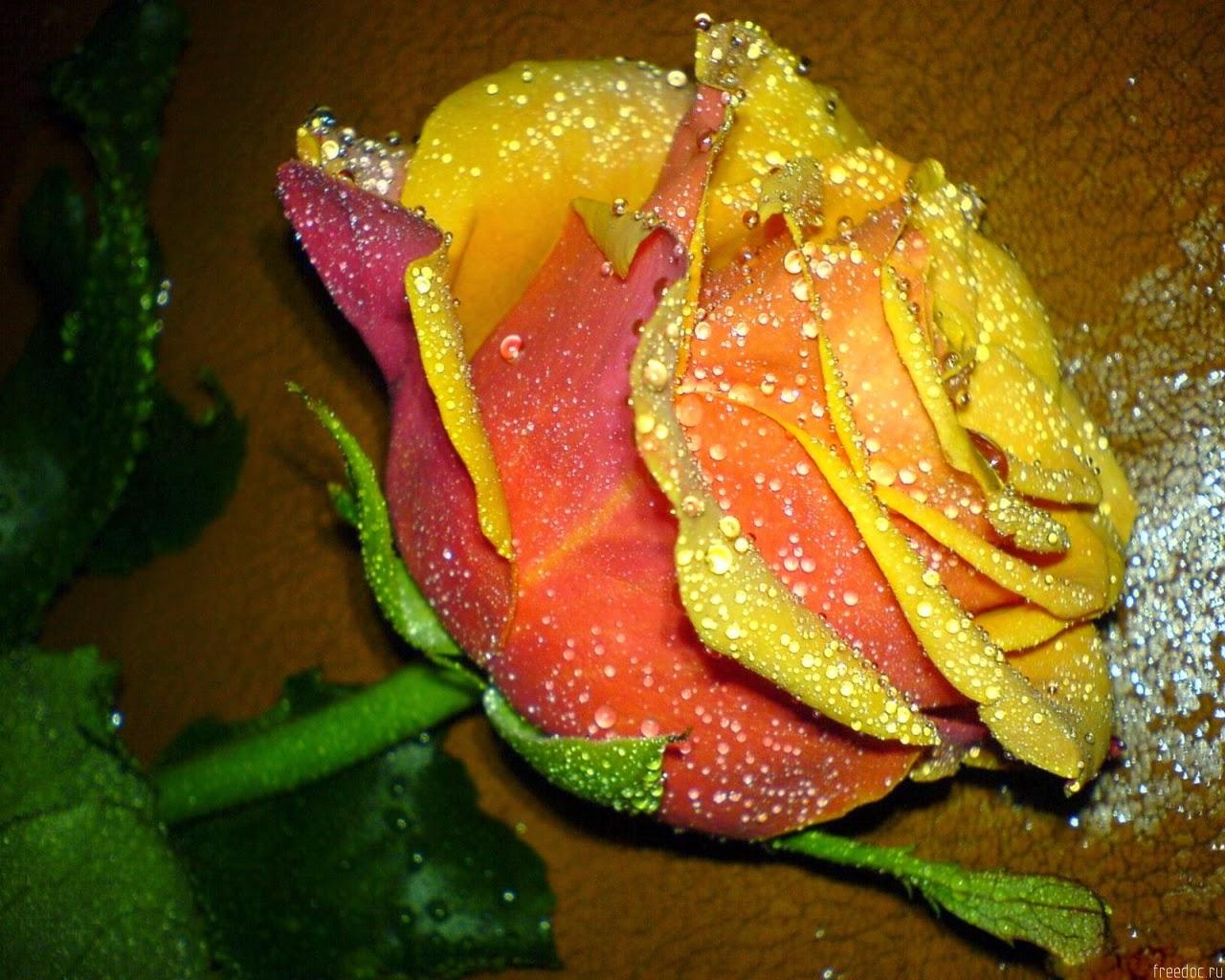 Những giọt sương ban mai trên các loài hoaNhững giọt sương ban mai trên các loài hoa