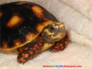 baby Red-footed Tortoise