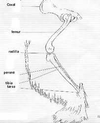 Osteologuia del canino