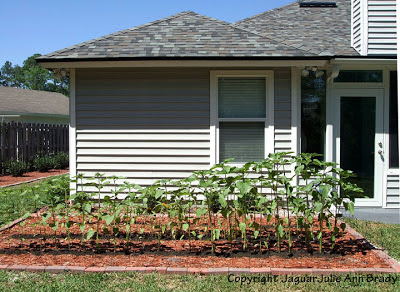 Sunflower Plants Prospering in the Ground May 8, 2013