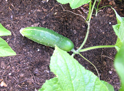 Divasofthedirt,cuke close