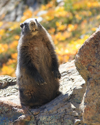 A Marmot Watches Us Below Lake Ingalls