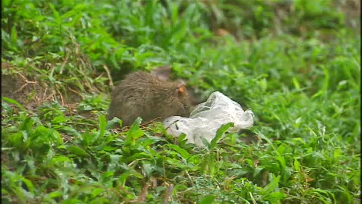 Rats near Bukit Batok MRT station