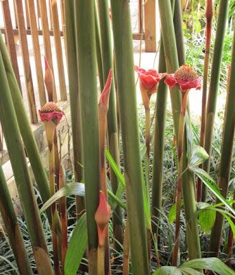 11 Tanaman Pengusir Nyamuk, bunga kecombrang, dammar-asihan.blogspot.com