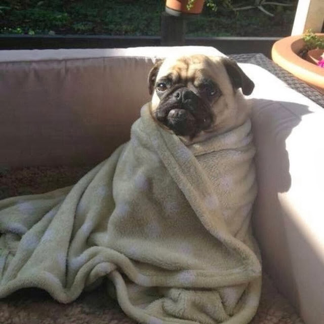 adorable dog pictures, pug puppy sits on couch wearing blanket