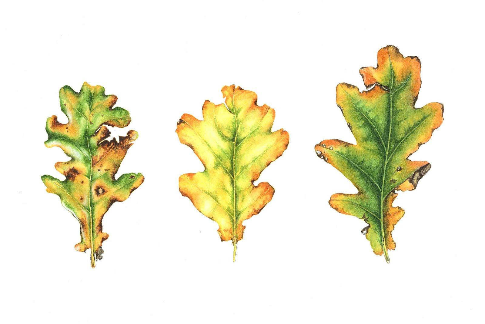 Quercus robur - Autumn trio