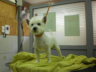 Εκλάπη από Παλαιό Φάληρο ο Ρούμπυ, λευκός σκυλάκος ράτσας west highland. Τον έχει δει κανείς?