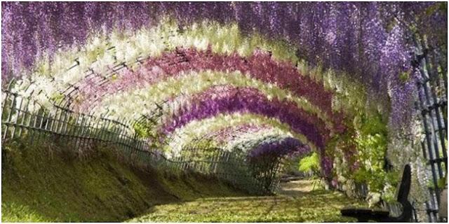 Terowongan Wisteria Flower