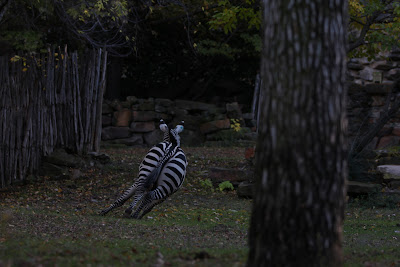 Runaway Zebra Original