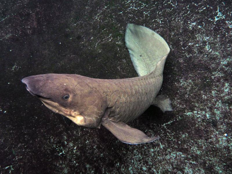 Lungfish : queensland lungfish neoceratodus forsteri queensland lungfish ...