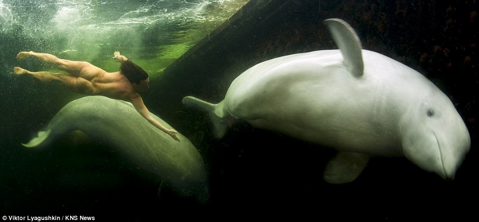 Co Uk Odd News A Naked Woman Tames Arctic Whales Underwater Html