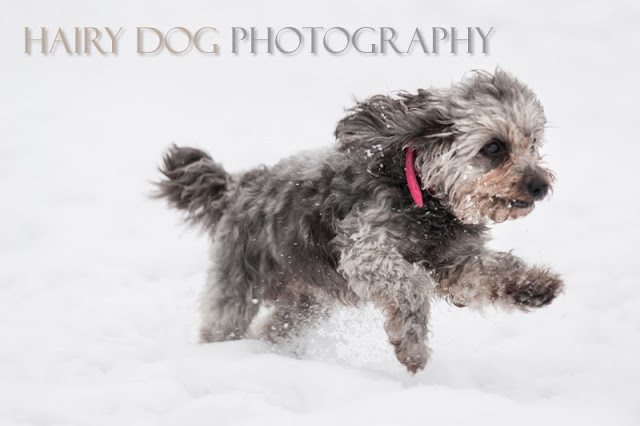 Specialist north east dog photographer in Herrington Park in the snow