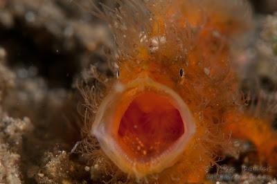 Foto pejesapo rayado Antennarius striatus