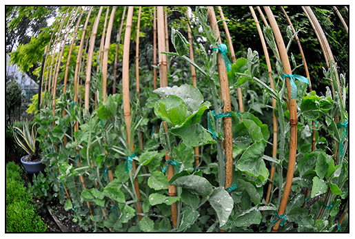 sweet pea project