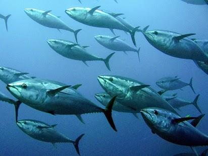 rahasia umpan, tips untuk mancing ikan, Macam-macam Teknik Mancing, mancing Ikan Cakalang, Tips Mancing Ikan Cakalang, Umpan Jitu Mancing Ikan Cakalang,