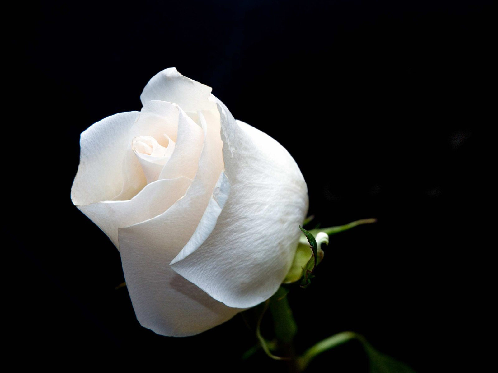 wallpapers planet white roses wallpapers