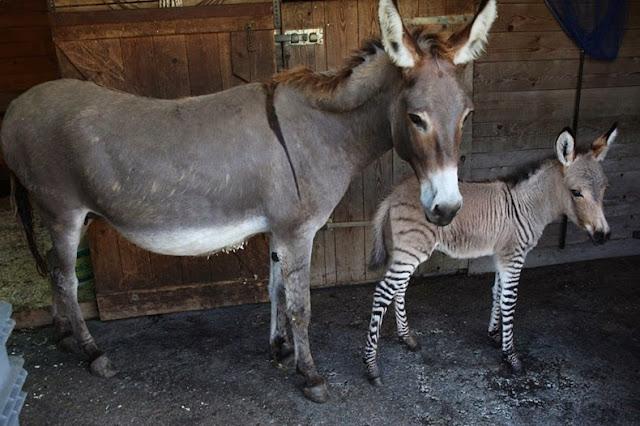 Ippo italia cebrasno mitad cebra mitad burro