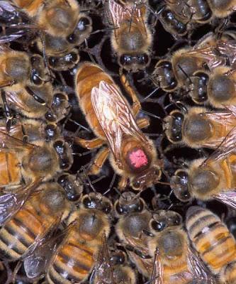 Seleksi Alam Untuk Menjadi lebah Ratu atau Lebah Pekerja