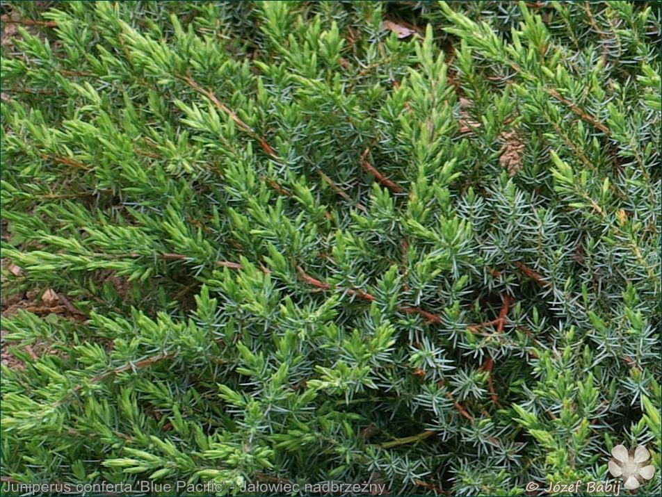 Juniperus conferta 'Blue Pacific' - Jałowiec nadbrzeżny