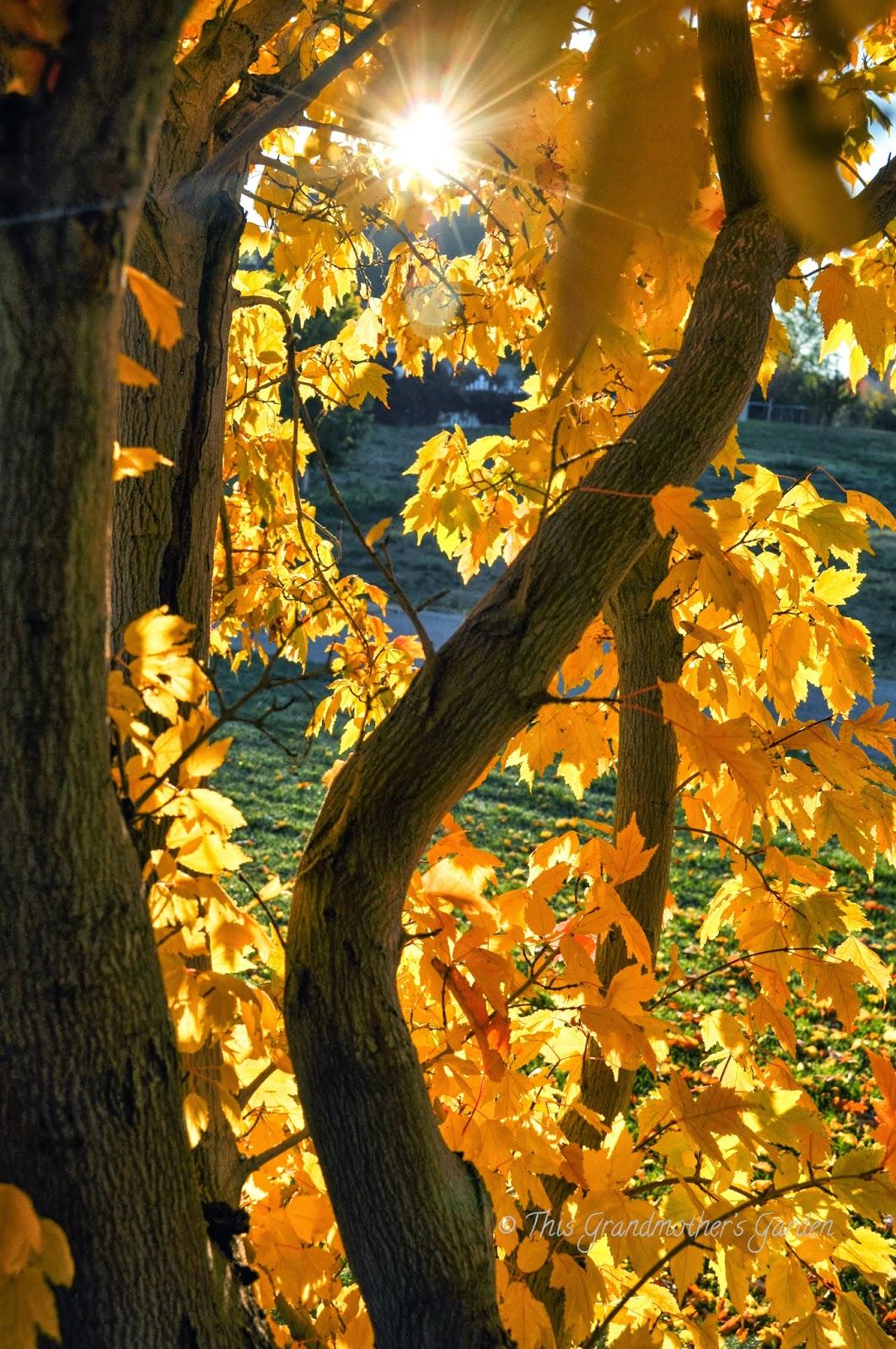 this grandmother u0026 39 s garden  capturing autumn u0026 39 s golden light