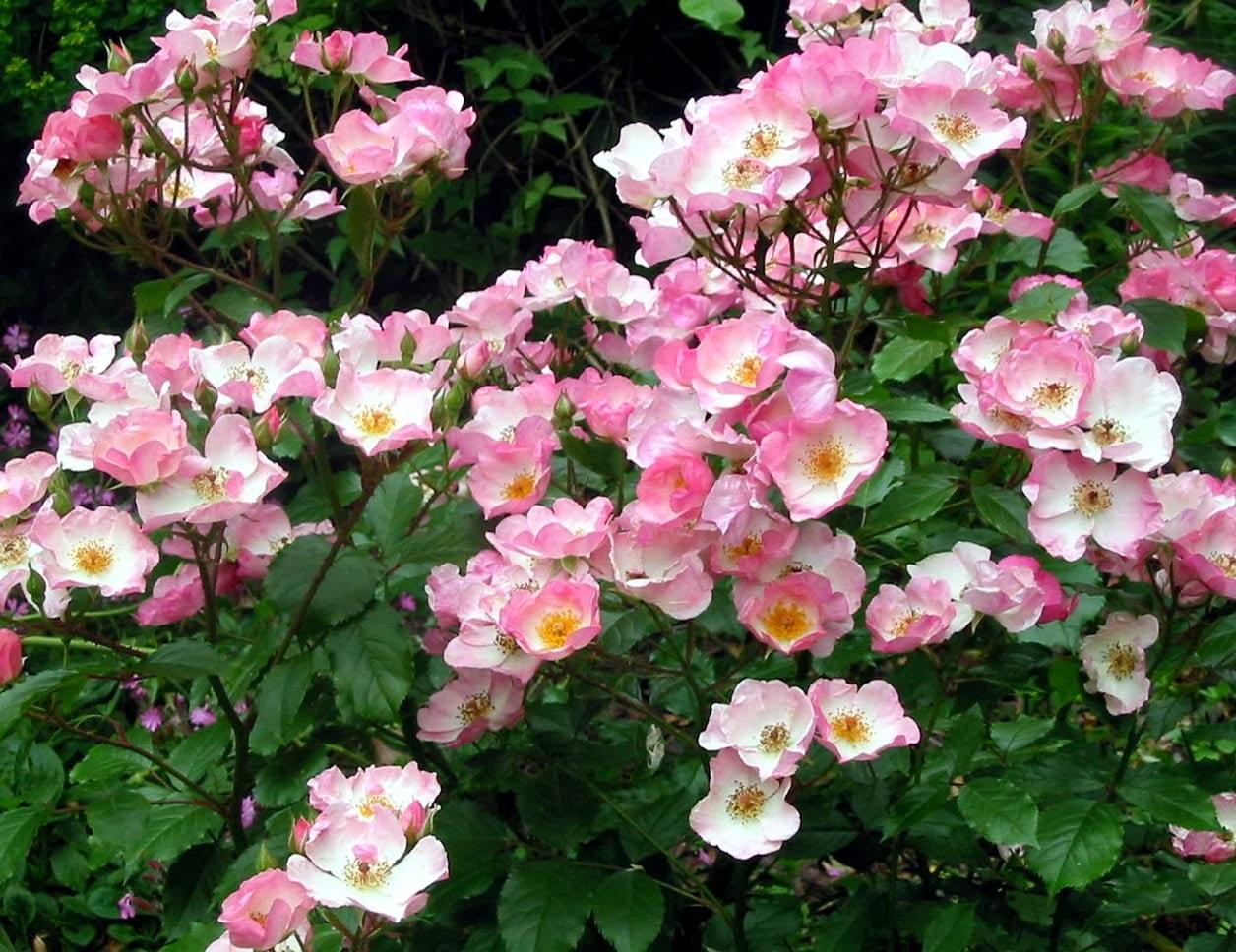 roser skyggetålende