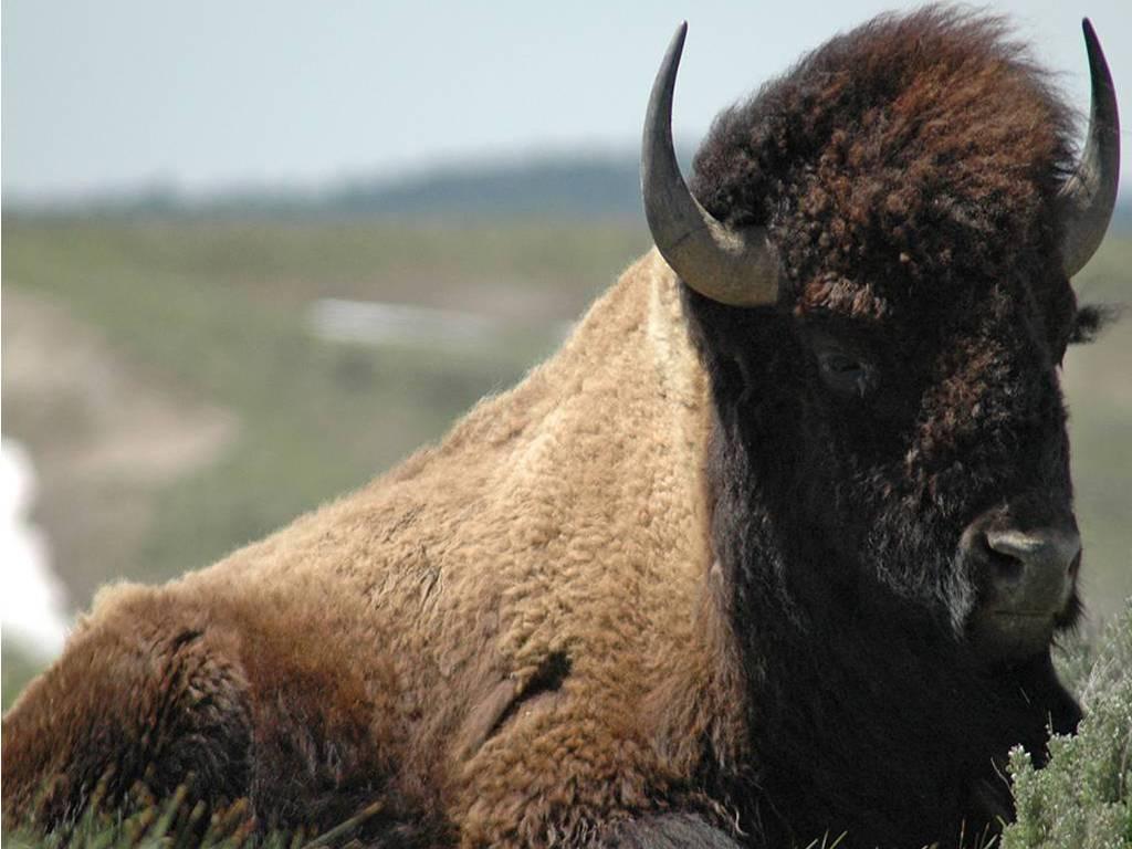 Good Bison Wallpaper - bison-wallpaper-26-772689  Photograph_633556.jpg