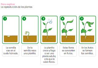http://www.primerodecarlos.com/SEGUNDO_PRIMARIA/enero/tema1/actividades/CONO/reprod/La_reproduccion_de_las_plantas_contenido.swf