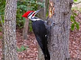 Mengenal Burung Pelatuk Si Master Burung Paling Mantap