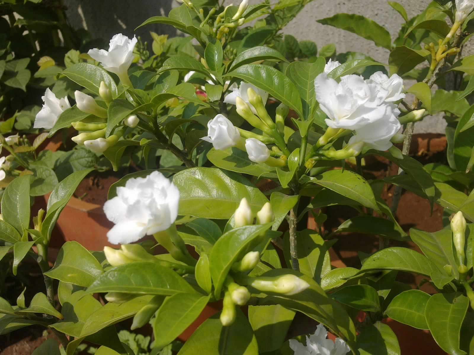 Plants growing in my potted garden crape jasminecarnation of india crape jasmine plant blooming profusely izmirmasajfo
