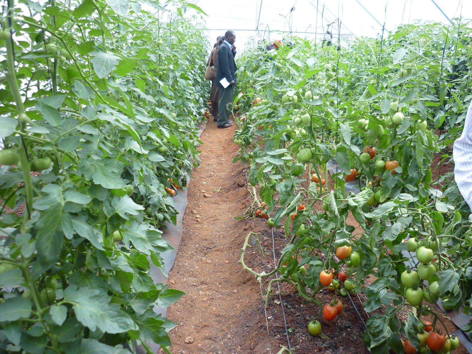 black pepper cultivation guide pdf