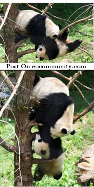 [Image: bayi+panda.jpg]