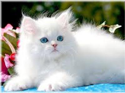 gambar kucing putih cantik