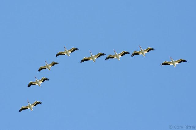 American White Pelicans Duluth Hawk Ridge