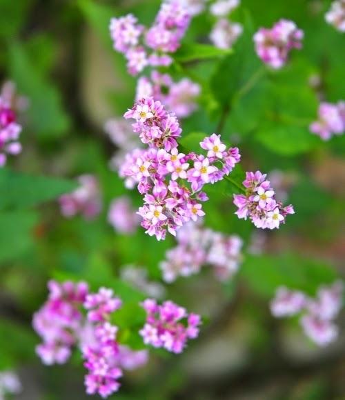 Ảnh hoa tam giác mạch ở Hà Giang