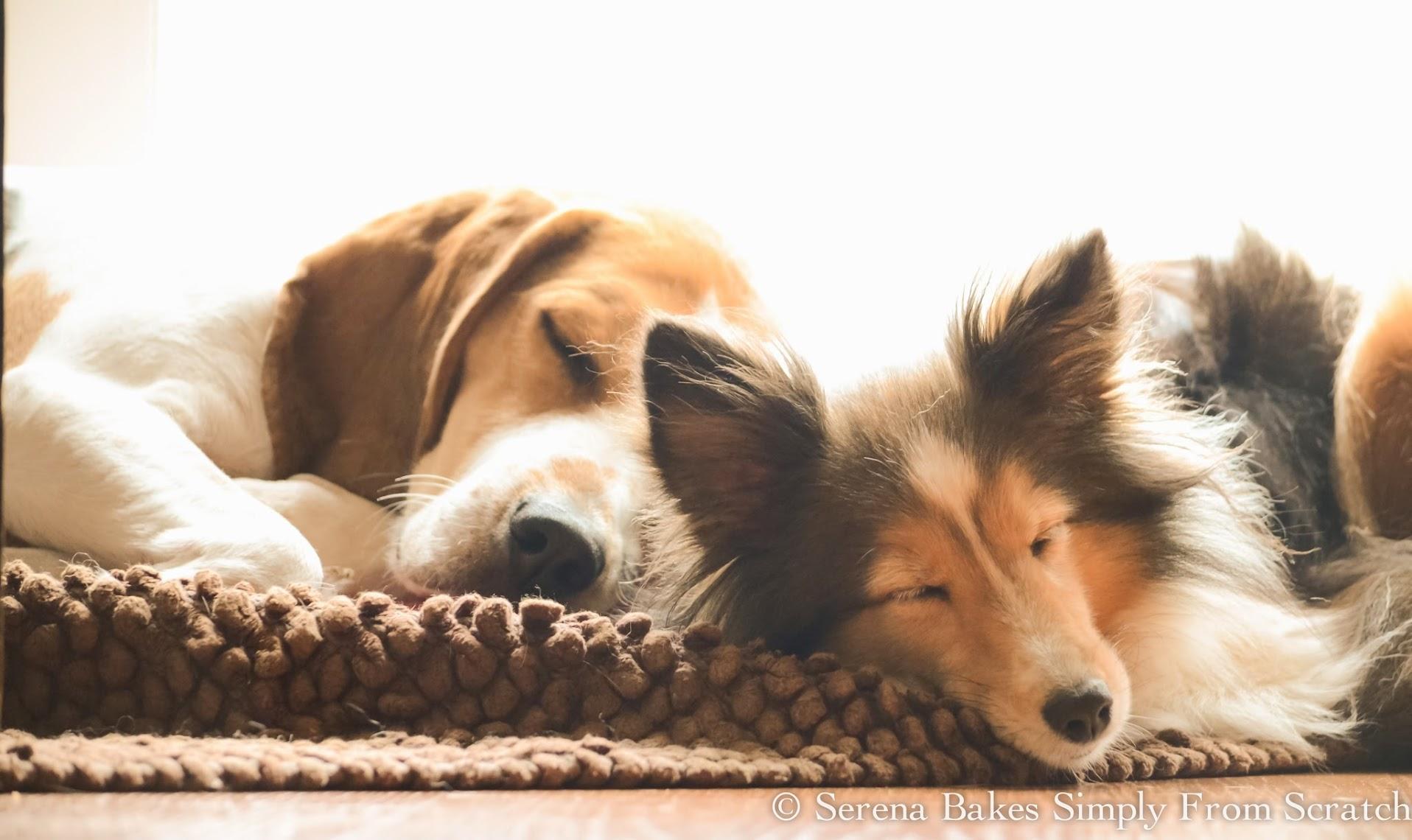Bell-Buddy-Dogs-Beagles-Sheltie.jpg