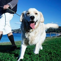 golden retriever sacado a caminar