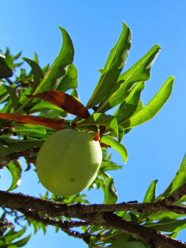 In the Garden // Green Baby Apricot Fruit