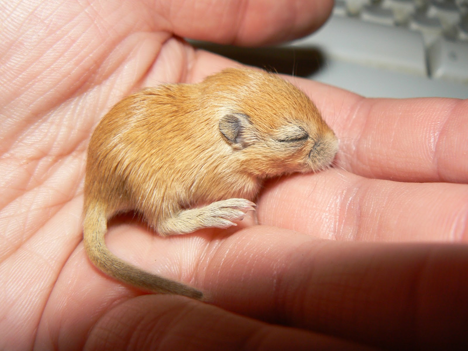 Newborn gerbils - photo#8