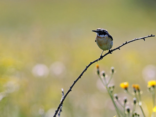 Whinchat photography in Bulgaria
