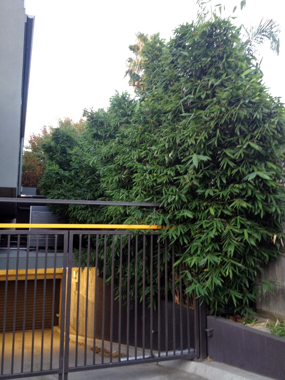 Bamboo creations oldhamii bamboo in st kilda