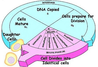 Phases of cell Cycle