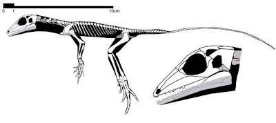 craneo y esqueleto de Eudibamus