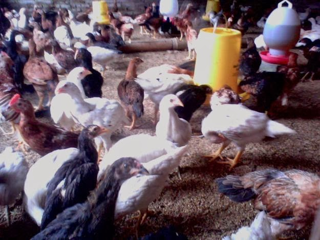 Ayam Kampung Jawa Super Purwokerto 2014