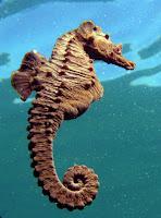H. hippocampus