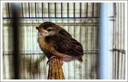 merawat jenis anakan burung prenjak