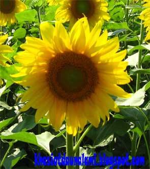 khasiat bunga matahari