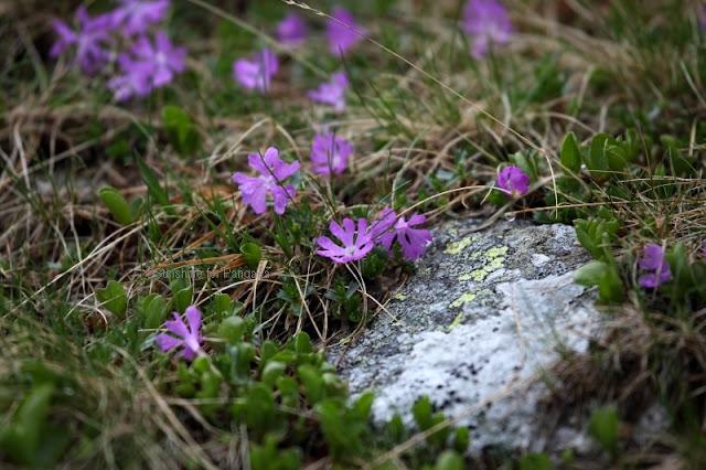 fairy primrose Primula minima